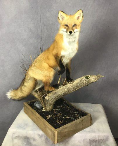 Red Fox; Columbia, South Dakota