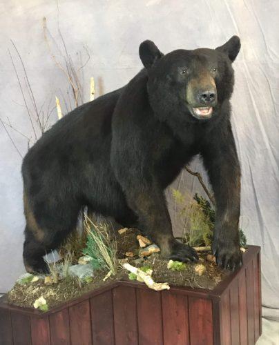 Black Bear Life Size Mount - Manitoba