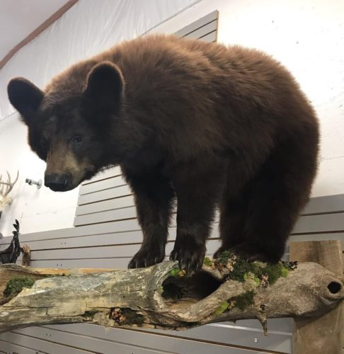 Chocolate Phase Black Bear Life Size Wall Mount - Manitoba Canada