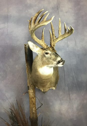 Custom White-Tailed Deer Pedestal Mount Brown County SD (3)