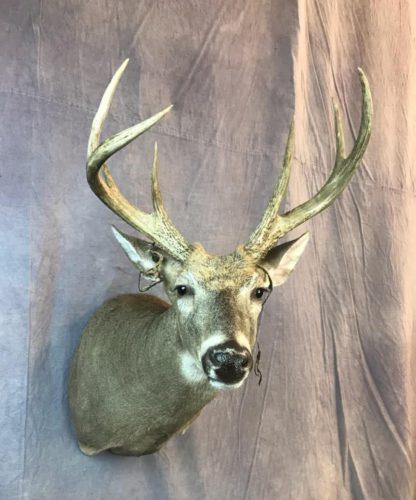 Early Season White Tailed Deer Partial Velvet (2)