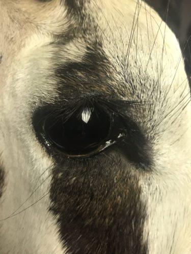 Gemsbok Eye Detail - Texas
