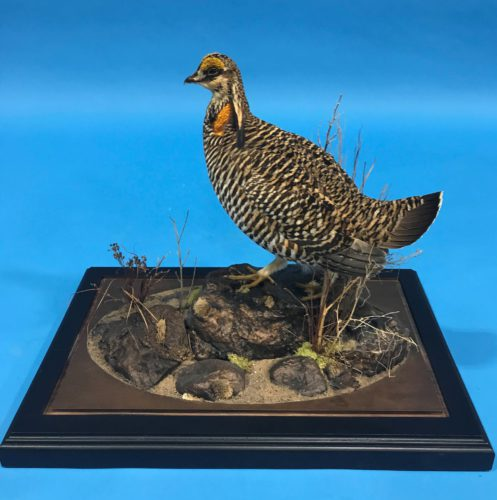 Greater Prairie Chicken Mount Custom Base Central SD