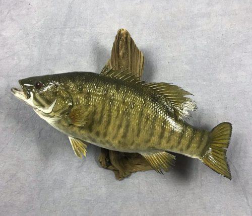 Smallmouth Bass - Pierre, SD