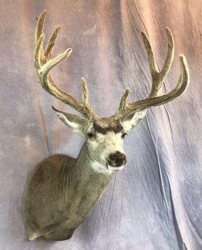 Velvet Mule Deer Mount Western South Dakota (3)