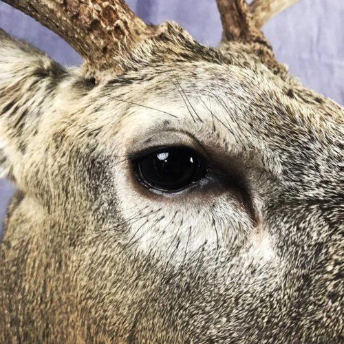 Whitetail Deer Eye Detail