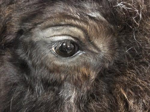 Bison Eye Detail